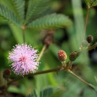 Post Mimosa